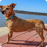 Adopt A Pet :: Scrappy - Leonardtown, MD