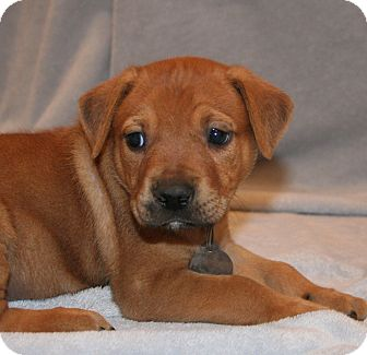 German Shepherd Dog/Labrador Retriever Mix Puppy for adoption in Scottsdale, Arizona - Alex