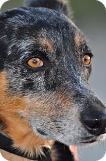 Australian Cattle Dog Dog for adoption in Phoenix, Arizona - Sadie