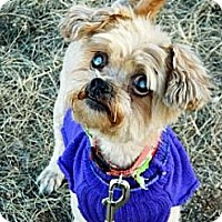 Adopt A Pet :: Lil Lady - Cheyenne, WY