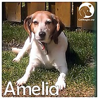 Adopt A Pet :: Amelia - Novi, MI