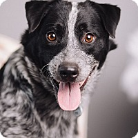 Adopt A Pet :: Sirius - Portland, OR