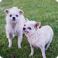 Adopt A Pet :: Pong - Salt Lake City, UT