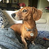 Adopt A Pet :: Hugo - Studio City, CA