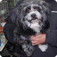 Adopt A Pet :: Lester - Brooklyn, NY