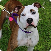 Adopt A Pet :: Stella - Chester Springs, PA