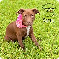 Adopt A Pet :: Sienna - Pearland, TX