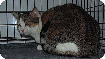 Domestic Shorthair Cat for adoption in Jackson, Missouri - Daniel
