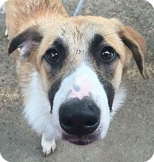 Great Pyrenees/Shepherd (Unknown Type) Mix Dog for adoption in kennebunkport, Maine - Bridget - in Maine