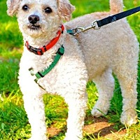 Poodle (Standard) Dog for adoption in Freeport, New York - Pumpkin