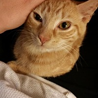 Adopt A Pet :: Lemon Whiskers - Newtown Square, PA