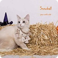 Birman Kitten for adoption in Westlake, California - SNOWBALL