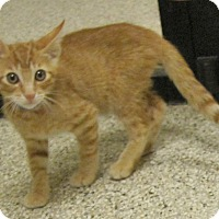 Domestic Shorthair Kitten for adoption in Georgetown, Texas - Johnson