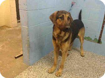Black and Tan Coonhound Dog for adoption in San Bernardino, California - A498577