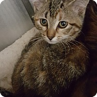 Domestic Shorthair Cat for adoption in Cody, Wyoming - Amethyst
