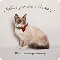 Siamese Kitten for adoption in Riverside, California - Sky