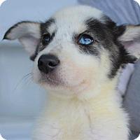 Adopt A Pet :: Eski - Danbury, CT