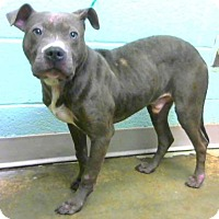 Adopt A Pet :: Presley - Decatur, GA