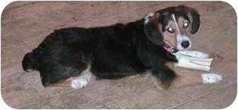 Border Collie/Beagle Mix Dog for adoption in Tiffin, Ohio - Roberta