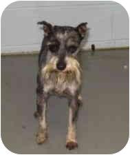 Schnauzer (Miniature) Dog for adoption in Stillwater, Oklahoma - Izod