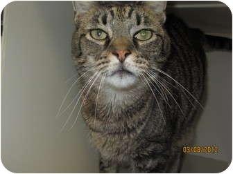Domestic Shorthair Cat for adoption in Richfield, Ohio - Chadwin