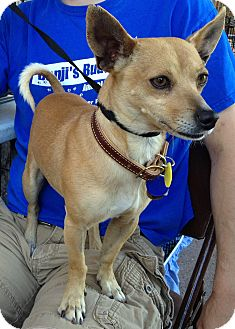Chihuahua/Basenji Mix Dog for adoption in Phoenix, Arizona - Gator