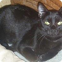 Adopt A Pet :: Silky - Hamburg, NY