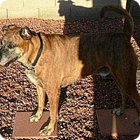 Adopt A Pet :: Lakhi - Gilbert, AZ