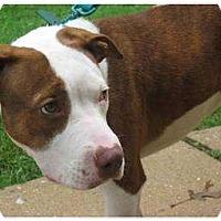 Adopt A Pet :: Roya - Reisterstown, MD