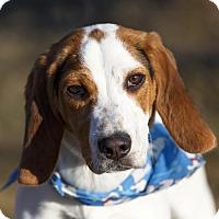 Adopt A Pet :: Spot - Ile-Perrot, QC