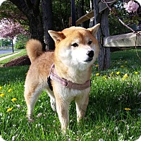 Adopt A Pet :: Kasumii - Manassas, VA