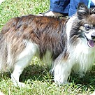 Adopt A Pet :: Poncho (10 lb) Lap Baby!