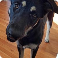 Adopt A Pet :: Samson(CL) - Greensboro, NC