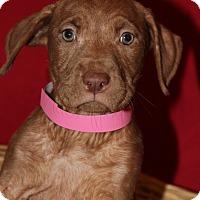 Adopt A Pet :: Nibbles - Waldorf, MD