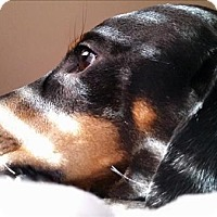 Adopt A Pet :: London - Encino, CA