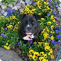 Adopt A Pet :: Scotty - Potomac, MD