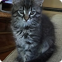 Adopt A Pet :: Pasha - River Edge, NJ