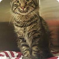 Adopt A Pet :: Majestic- Very Loving! - Arlington, VA