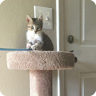 Domestic Mediumhair Kitten for adoption in Boca Raton, Florida - Linx