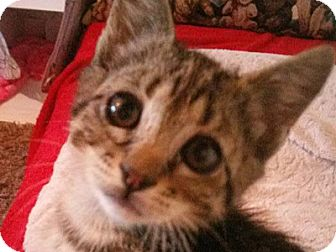 Domestic Shorthair Kitten for adoption in Corinne, Utah - Jessie