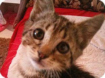Domestic Shorthair Kitten for adoption in corinne, Utah - Jessie