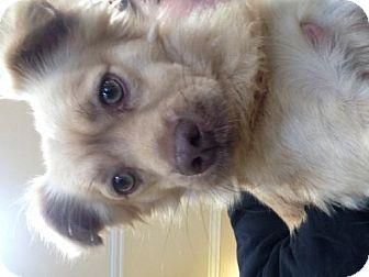 Chihuahua/Spaniel (Unknown Type) Mix Dog for adoption in Orange, California - Simba