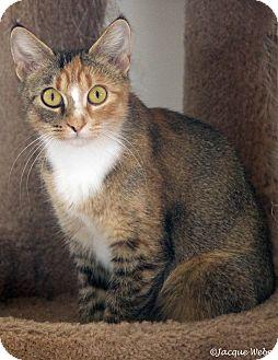 Calico Cat for adoption in St Louis, Missouri - Osceola