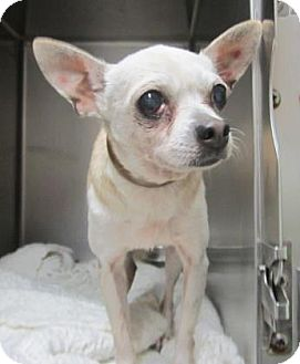 Chihuahua Dog for adoption in Cocoa, Florida - Shugy Pop (Foster Home)