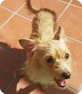 Norwich Terrier Dog for adoption in Palm Harbor, Florida - Urgent- foster needed