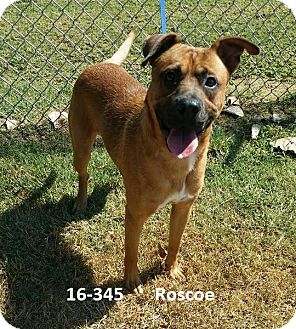 Boxer/Australian Cattle Dog Mix Dog for adoption in Cannelton, Indiana - Roscoe