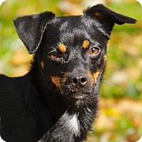 Rat Terrier Mix Dog for adoption in Greenfield, Wisconsin - Vader (WI)