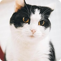 Domestic Shorthair Cat for adoption in Parma, Ohio - Jewel