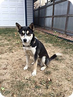 Shiba Inu/Siberian Husky Mix Dog for adoption in Denver, Colorado - Nikki