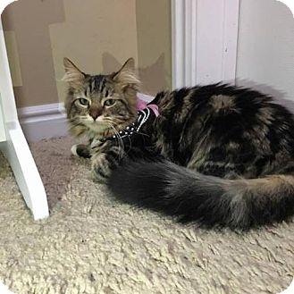 Domestic Shorthair Cat for adoption in Salt Lake City, Utah - Pebbles